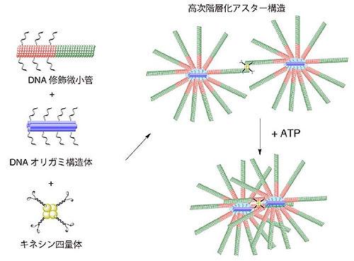 DNAオリガミを融合した分子人工筋肉を開発