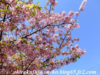 317桜1