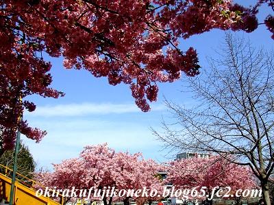 317桜2