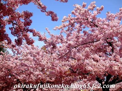 317桜3