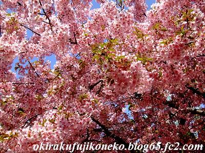 317桜5