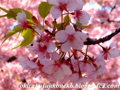 317桜7