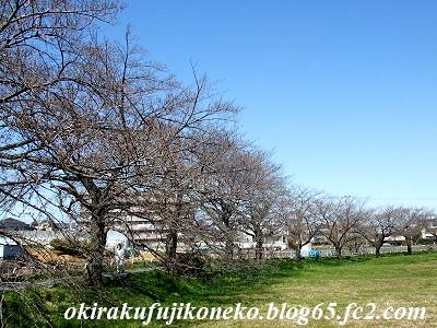 324桜1
