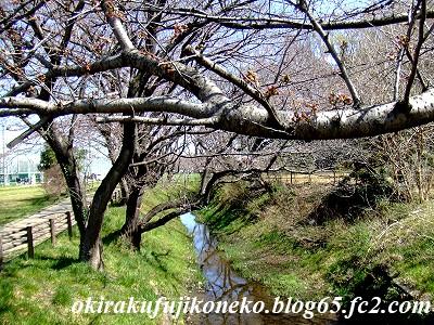 324桜3