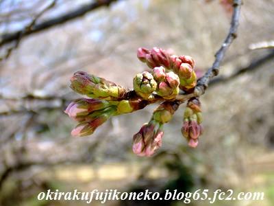 324桜5