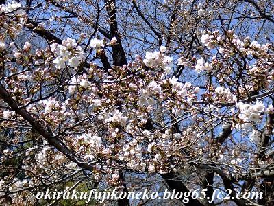 324桜8