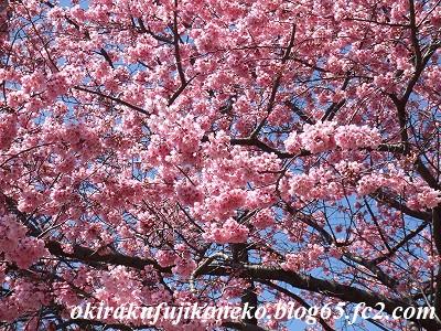324桜10