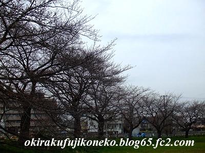 326桜1