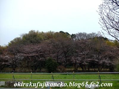 326桜2