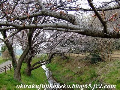 326桜3