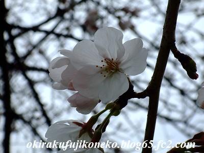 326桜5