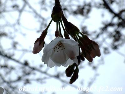 326桜6