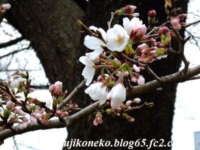 326桜7