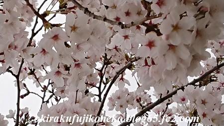 330桜1