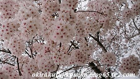 330桜2