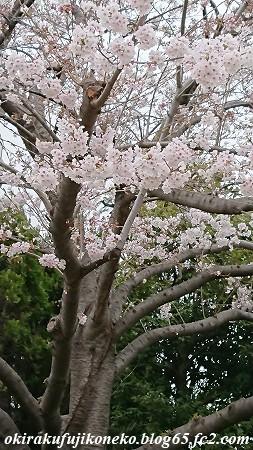 330桜3