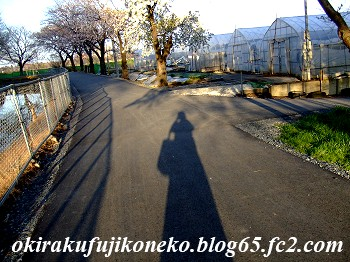 331見沼桜1
