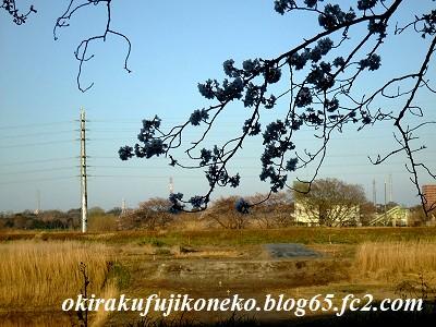 331見沼桜2