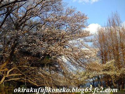 331見沼桜4