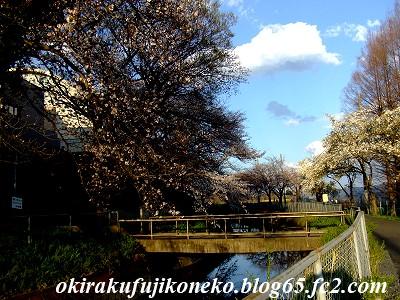 331見沼桜5