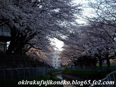 331見沼桜6