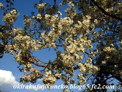 331見沼桜7