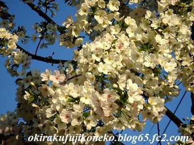 331見沼桜8