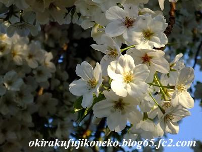 331見沼桜10