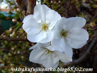 331見沼桜11