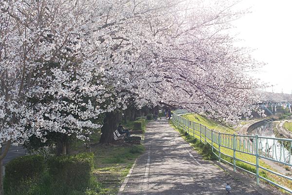 香流川西エリア桜