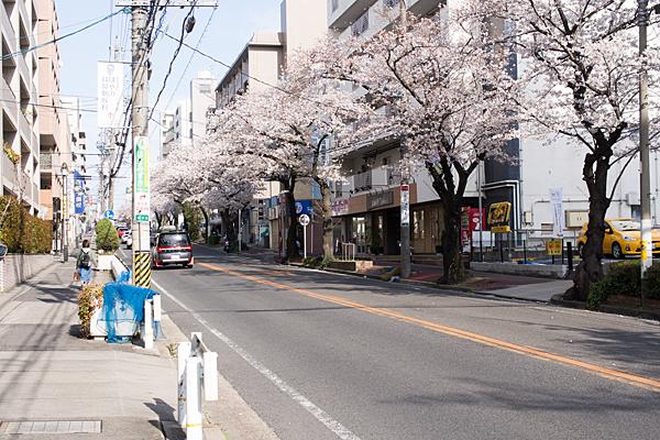 明が丘交差点付近桜
