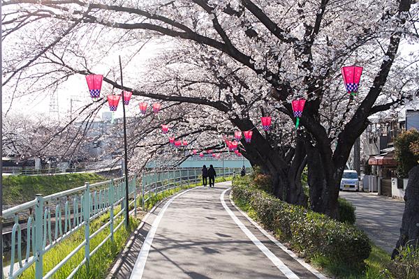 香流川東エリア桜