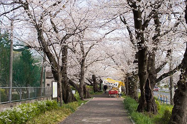 雨池公園桜