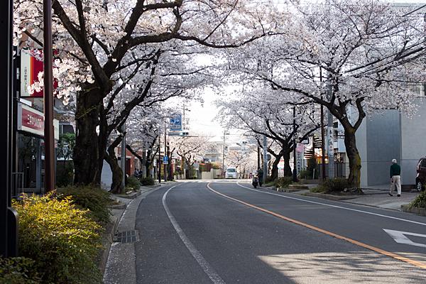 藤が丘北桜