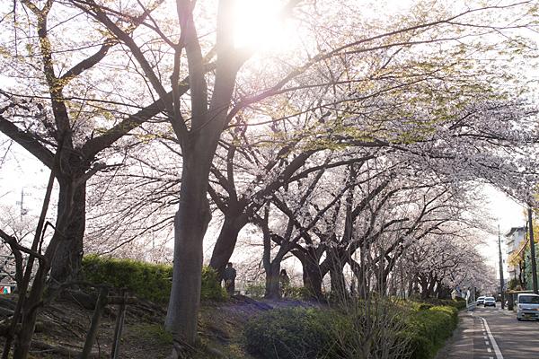 香流川土手沿い桜