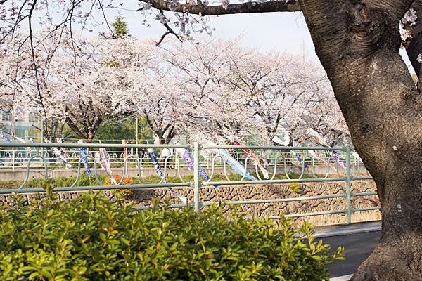 香流川鯉のぼりと桜