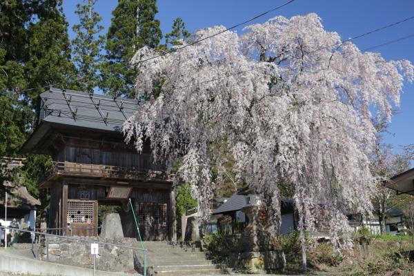 笹野観音の桜