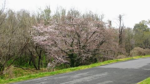 桜も、、、映えない