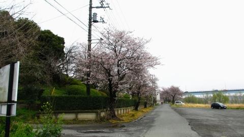 ゴルフ場脇の桜