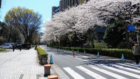 東大病院前の桜並木