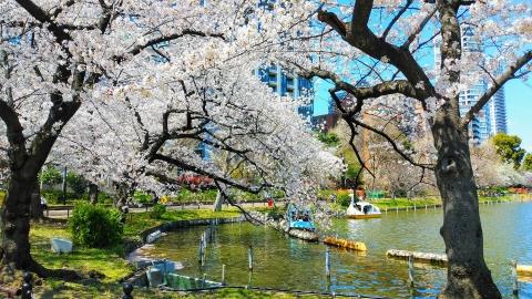 不忍池の桜、都会のビルと池とのコントラストが美しいです。