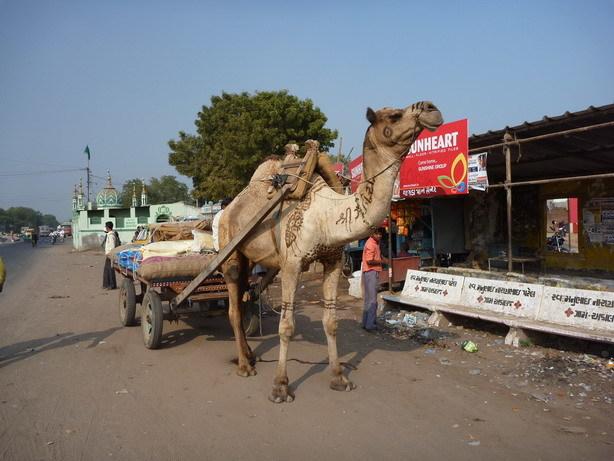 アダーラジのバス停にて 働くラクダ_サイズ変更