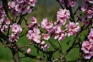almond-blossom-3171746__340.jpg