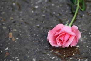 pink-rose-3580187__340.jpg