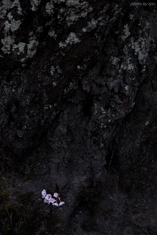 佐々井厳島神社の桜_1