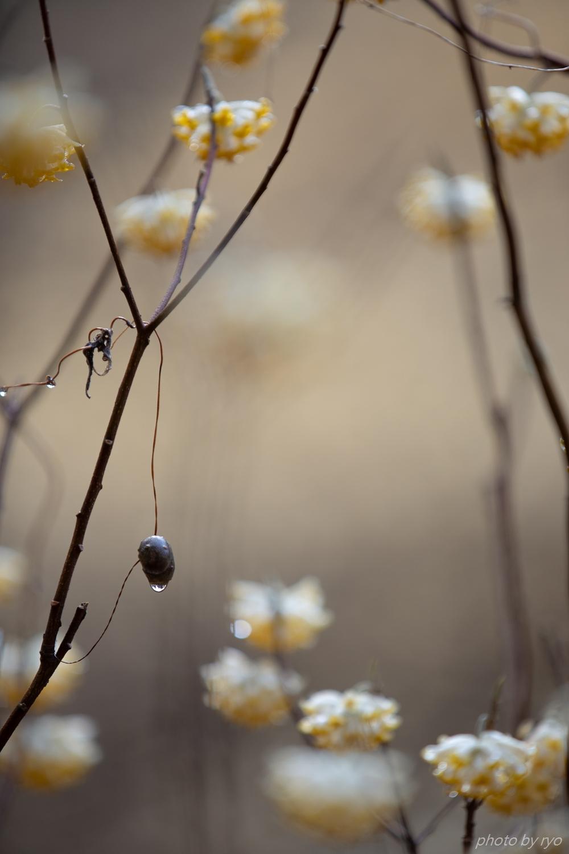 ミツマタの季節 Ⅱ_1