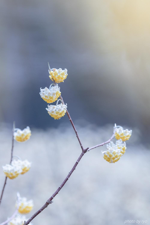 ミツマタの季節 Ⅲ_2