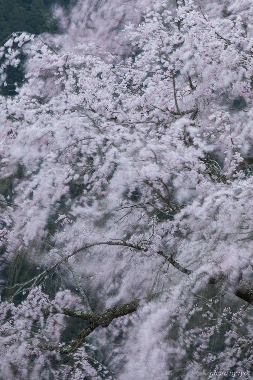 湯の山温泉のしだれ桜 2018_1