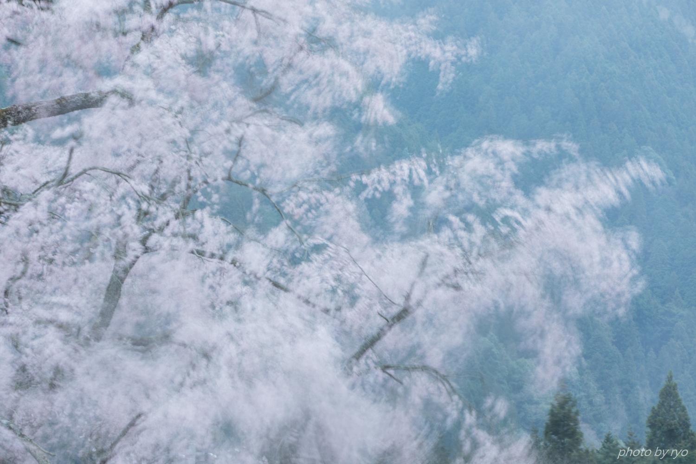 湯の山温泉のしだれ桜 2018_2