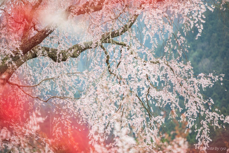 湯の山温泉のしだれ桜 2018_4